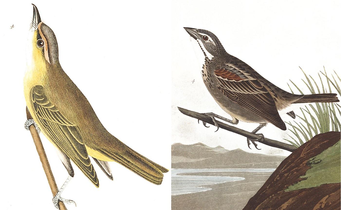 Audubon mystery bird