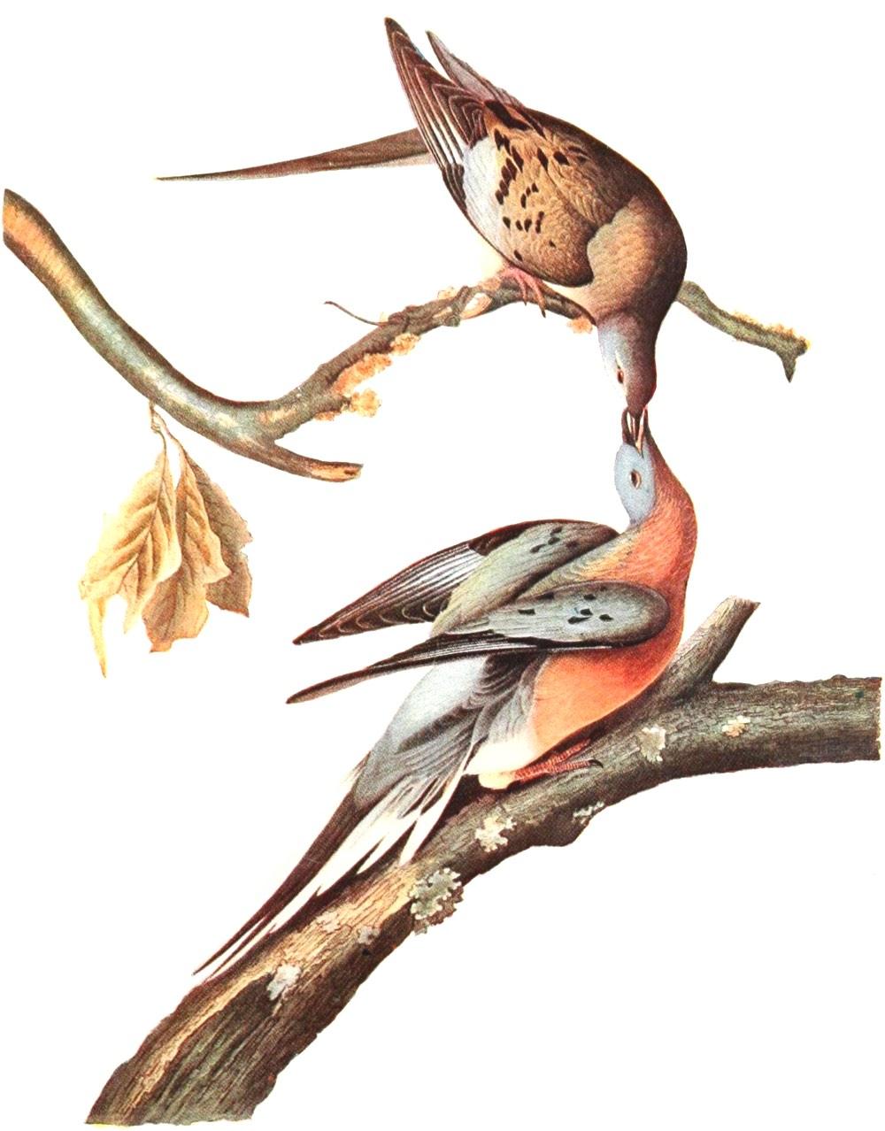 Audubon Passenger Pigeon