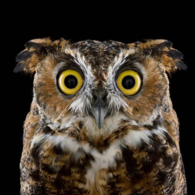 Brad Wilson Owl