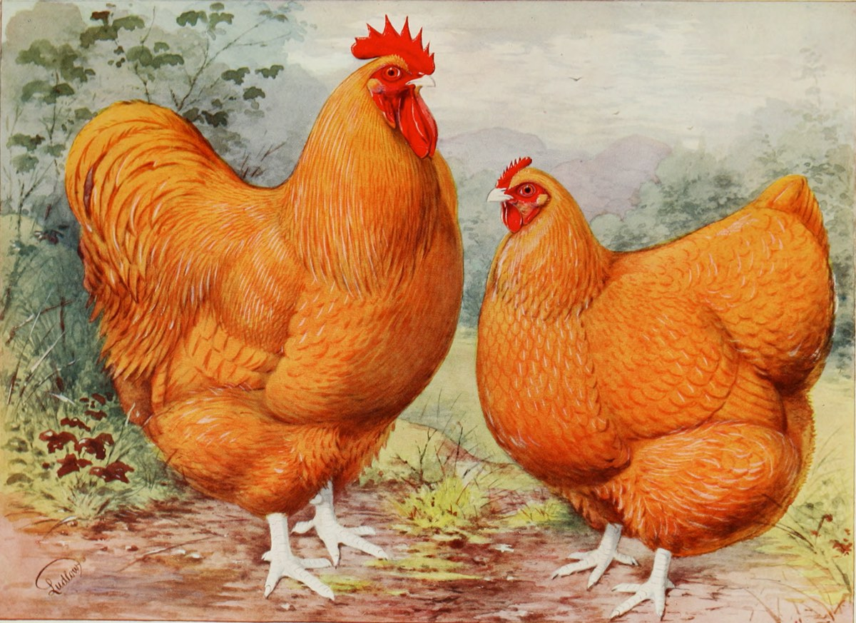 Illustrated Poultry