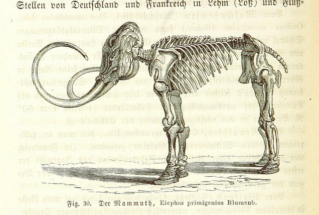 Mammoth Skeleton