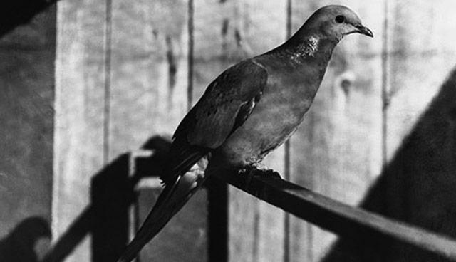 Martha Passenger Pigeon