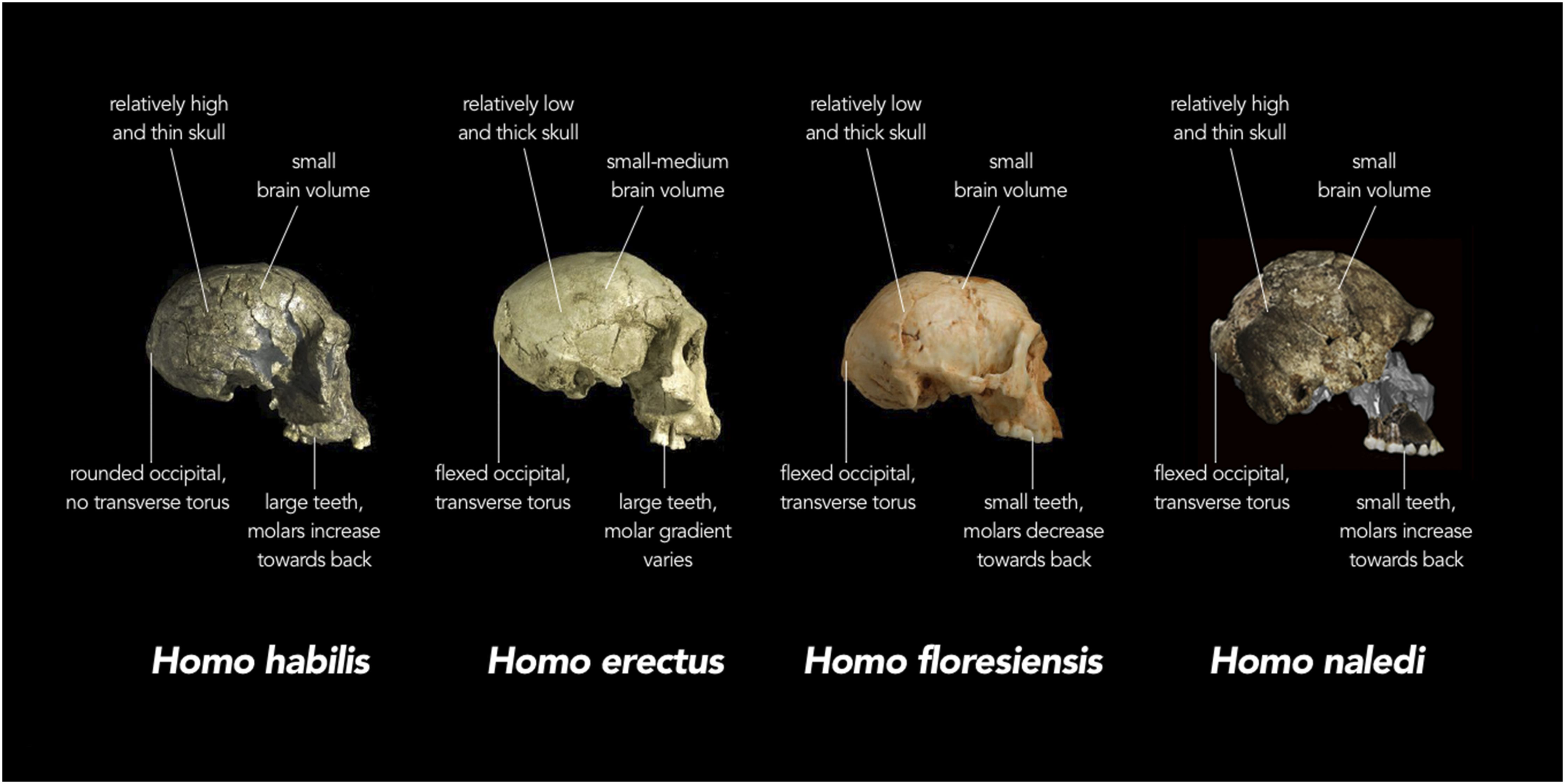 humans org skull comparison jpg