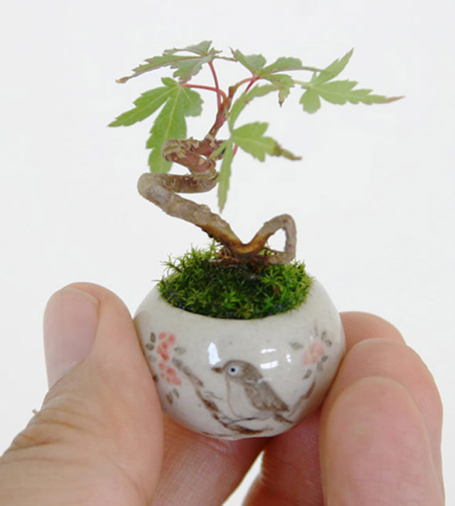 the world s smallest bonsai. Black Bedroom Furniture Sets. Home Design Ideas