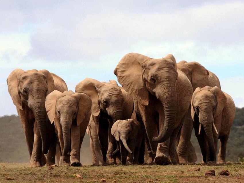 Tuskless Elephants