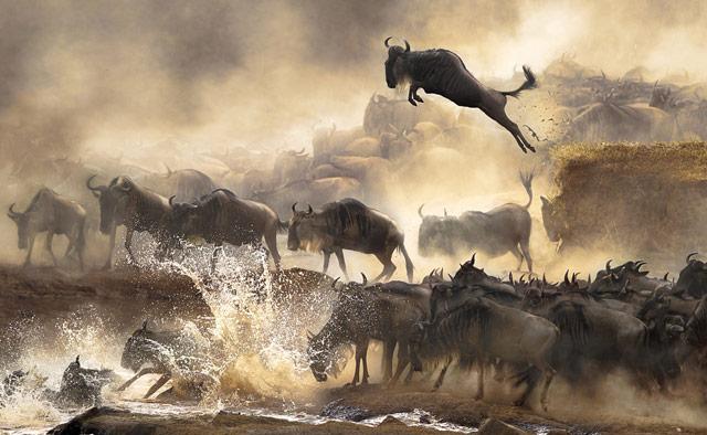 Wildebeest Bonnie Cheung